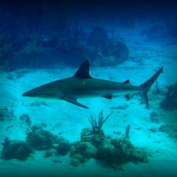 Sharks of Antigua